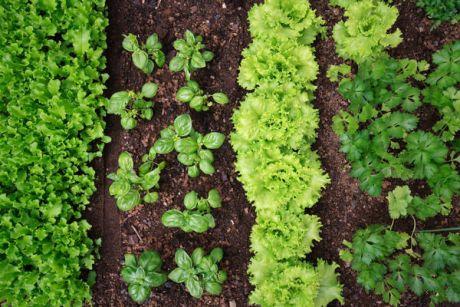 Как выращивать лаванду дома в горшке и в открытом грунте