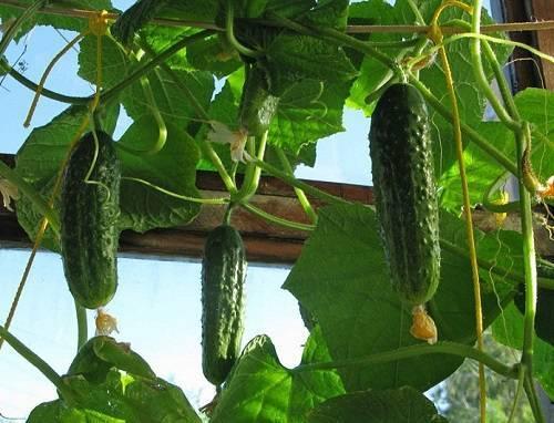 Выращивание огурцов в квартире зимой: на подоконнике или балконе