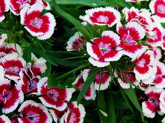 Турецкая гвоздика, посадка и уход за душистым цветком