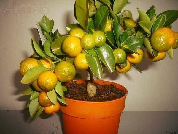Перечень эффективных удобрений для лимона и цитрусовых в горшке