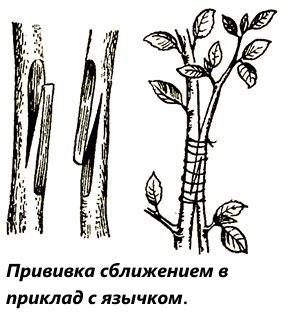 Прививка плодовых деревьев: методы и правила