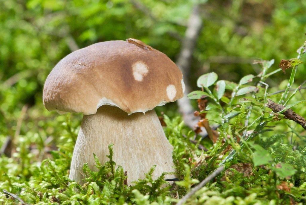 Как вырастить на даче любимые белые грибы?