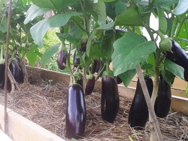 Как вырастить баклажаны в открытом грунте или теплице? можно ли сажать семенами сразу в грунт?