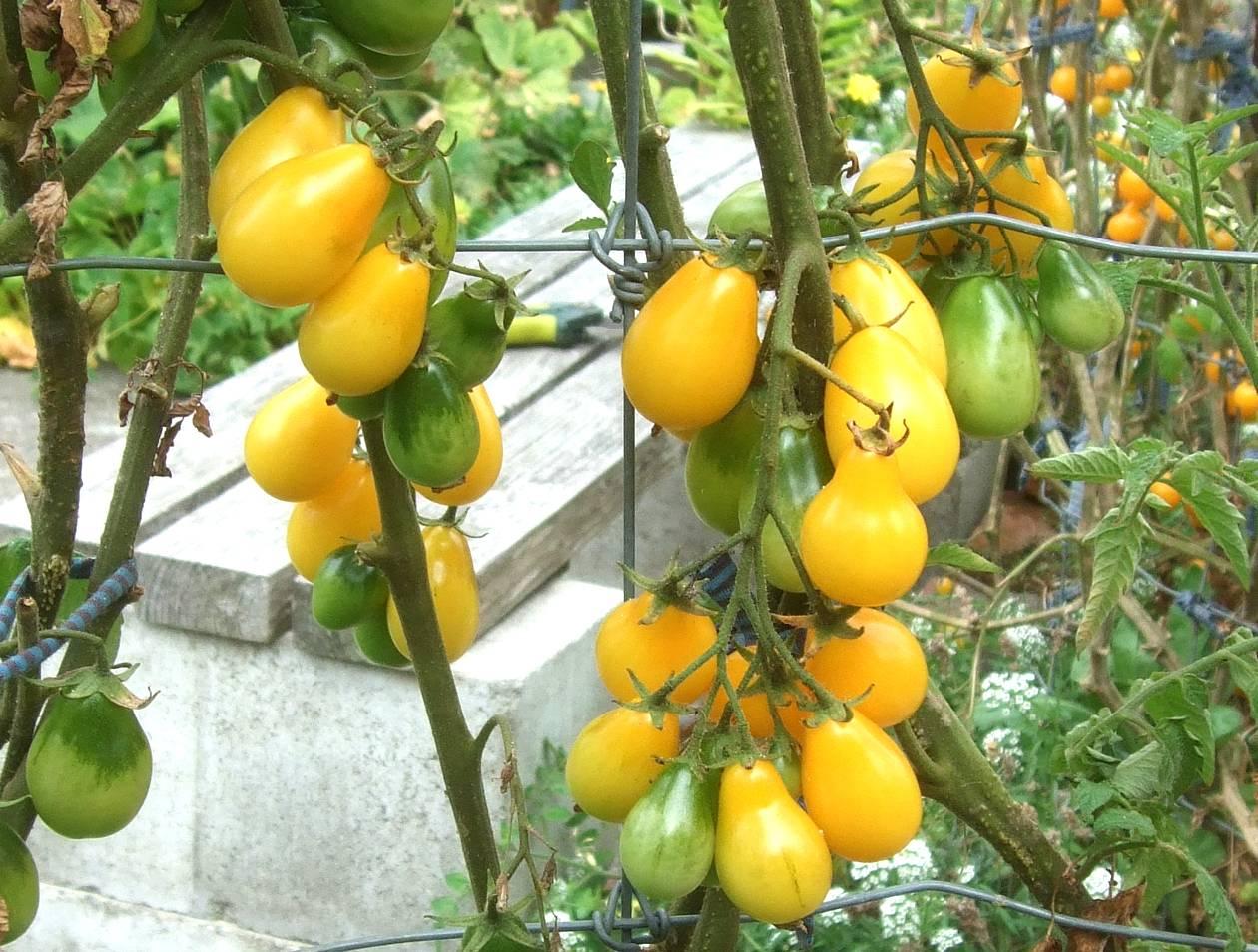 Выращивание помидор Медовая капля, описание сорта, видео