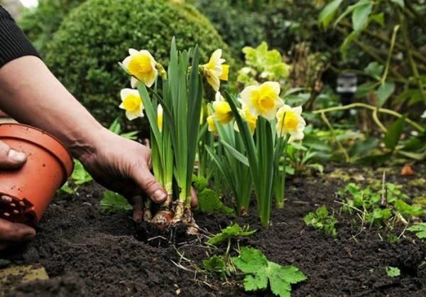 Выращивание нарциссов в открытом грунте