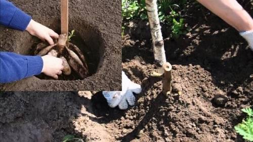 Выращивание однолетних георгинов из семян: посадка, уход, пикировка