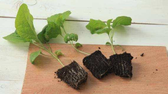 Как вырастить баклажаны без особых усилий