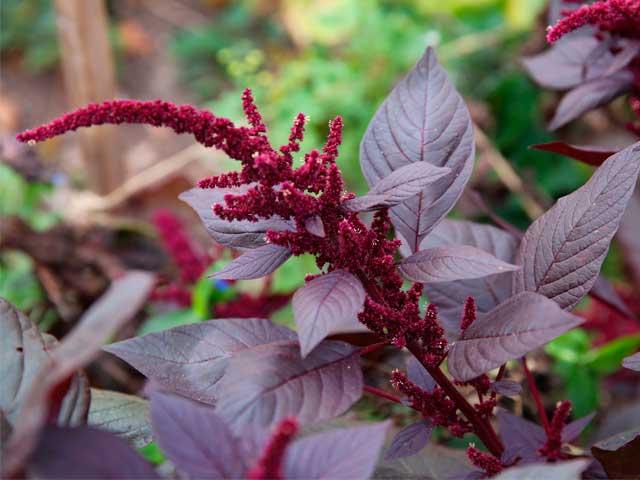 Польза и вред амаранта: лекарство от всех болезней или просто вкусный сорняк