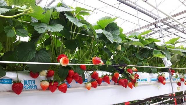 Гидропонный способ выращивания клубники