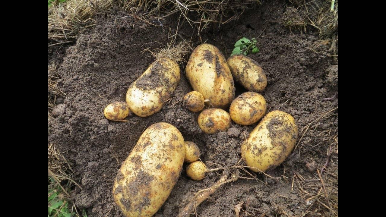 Особенности выращивания картофеля под мульчей: соломой, сеном, картоном
