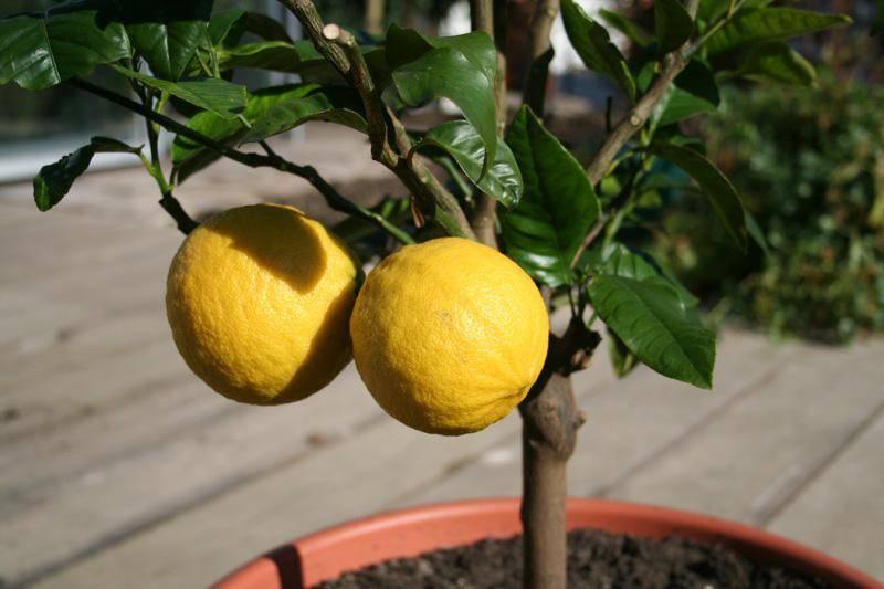 Чем подкармливать лимон?