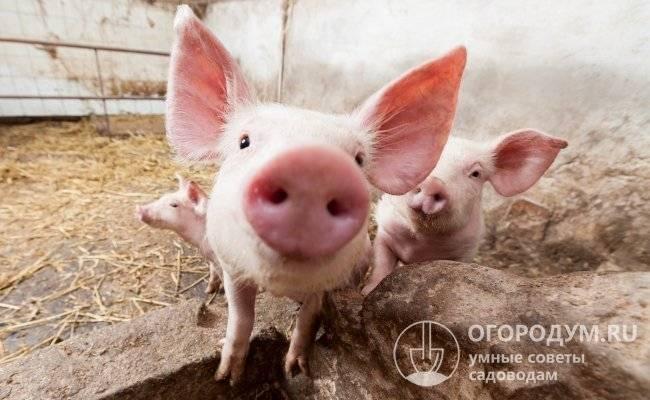 Породы свиней с описаниями и фото для разведения на подворье
