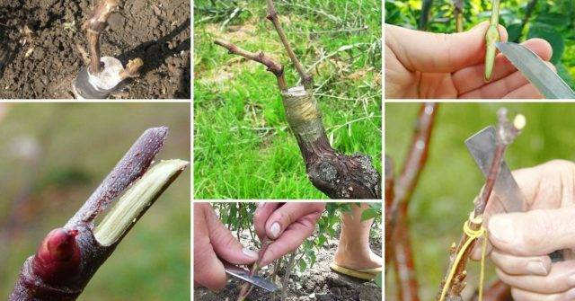 Советы по выращиванию черноплодной рябины