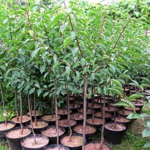 Алыча писсарда краснолистная — описание сорта, фото и отзывы садоводов