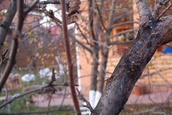 Основные причины, почему чернеют листья на яблоне. мнение экспертов