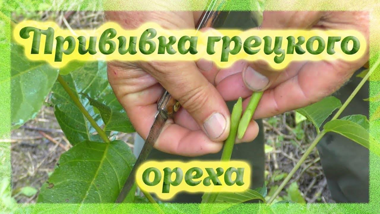 Как прививать грецкий орех