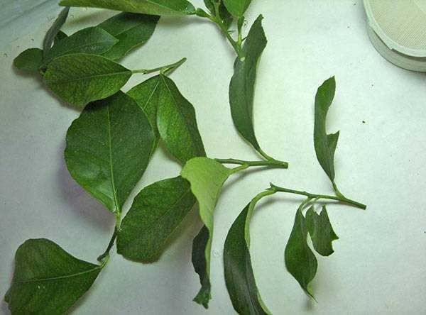 Как я выращиваю магнолии из семян