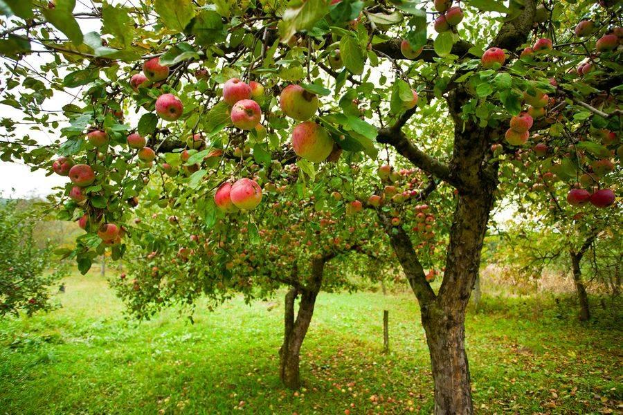 В яблочный спас плодами одарит яблоня грушовка московская
