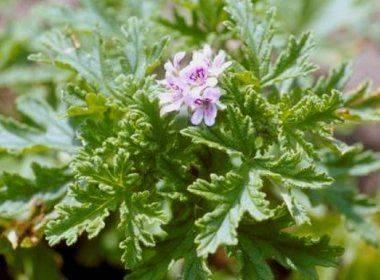 Особенности и рекомендации по уходу за геранью в домашних условиях и в саду. как добиться цветения?