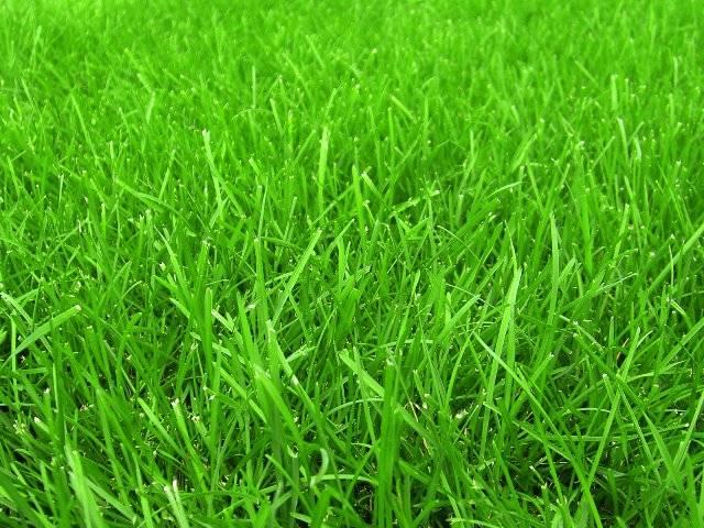 Какая трава лучше для газона: обзор лучших сортов, выбор производителя и советы экспертов по уходу за газоном (85 фото и видео)