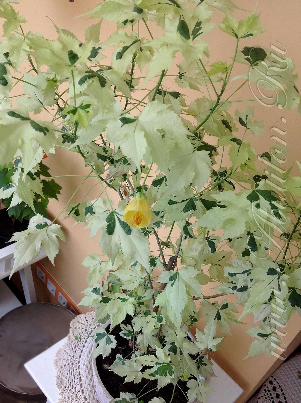 Почему желтеют листья у абутилона