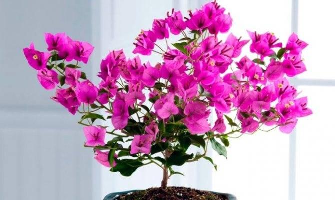 Бугенвиллея — описание растения, уход и размножение в домашних условиях