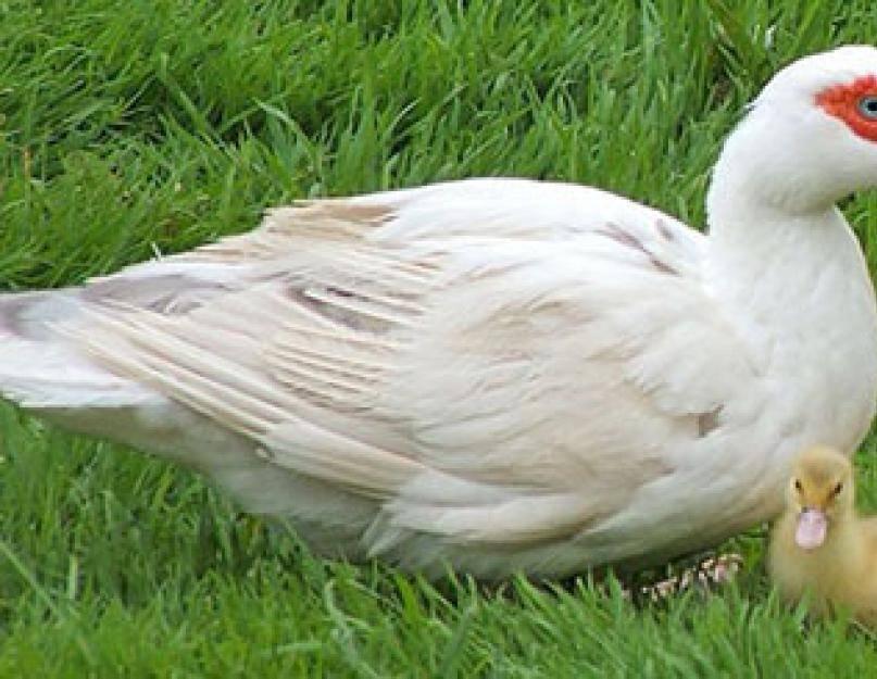Сколько дней утка сидит на яйцах