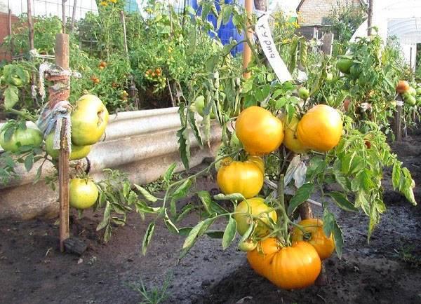 Сорт томата – хурма: характеристика, описание, отзывы садоводов