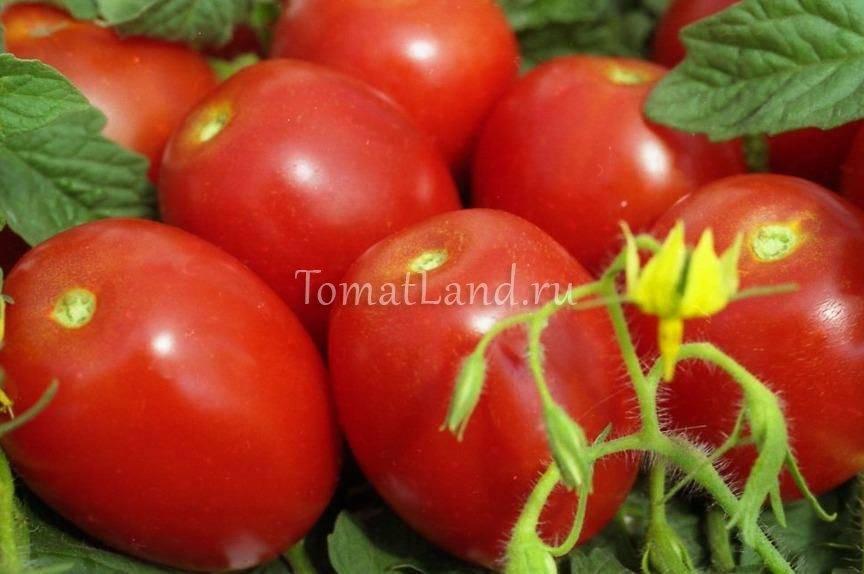 Помидоры «хурма»: урожайность, характеристика сорта, фото и отзывы