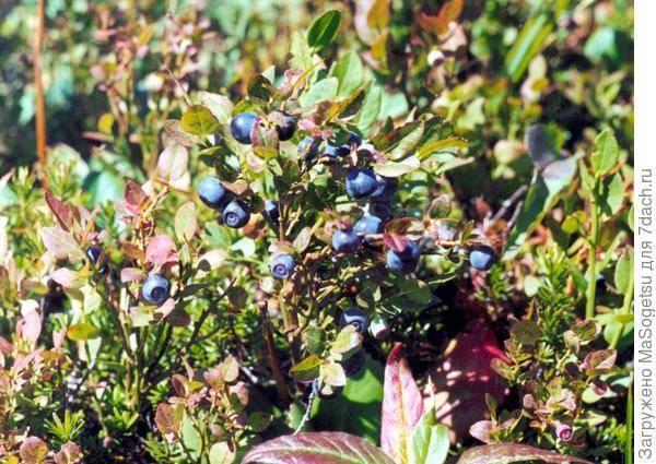 Черника садовая посадка и уход в открытом грунте выращивание в саду на даче размножение семенами