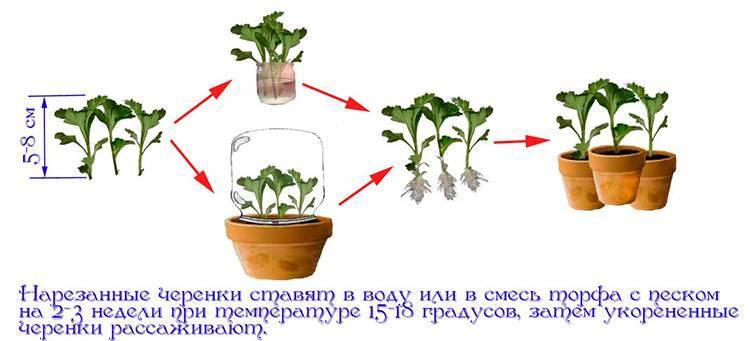 Размножение хризантемы черенками