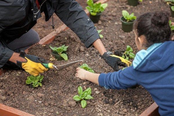 Посадка и уход за шпинатом в открытом грунте