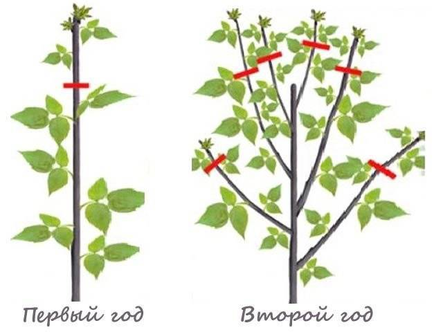 Эффективное выращивание малины или основные правила хорошего урожая