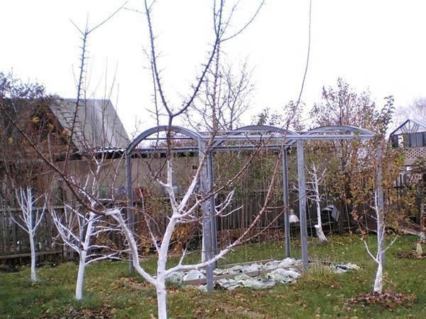 Вечные вопросы: белить или не белить деревья весной?