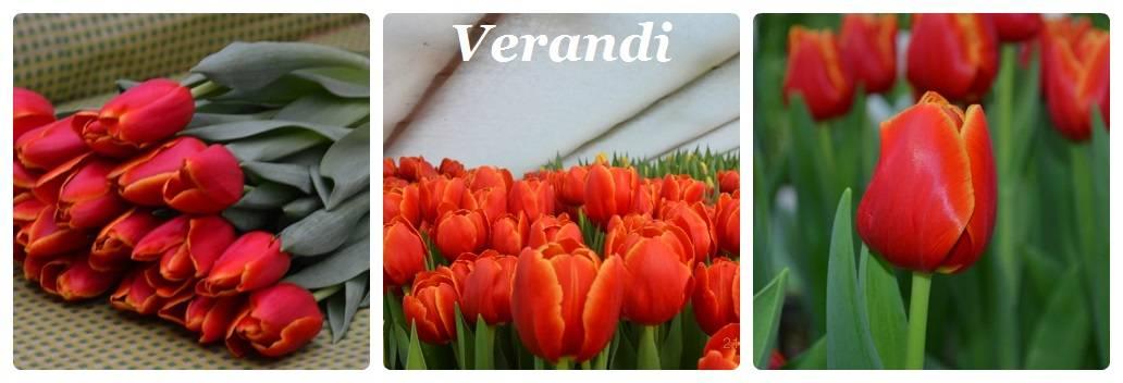 Технология для начинающих: агротехника выращивания тюльпанов в теплице к 8 марта