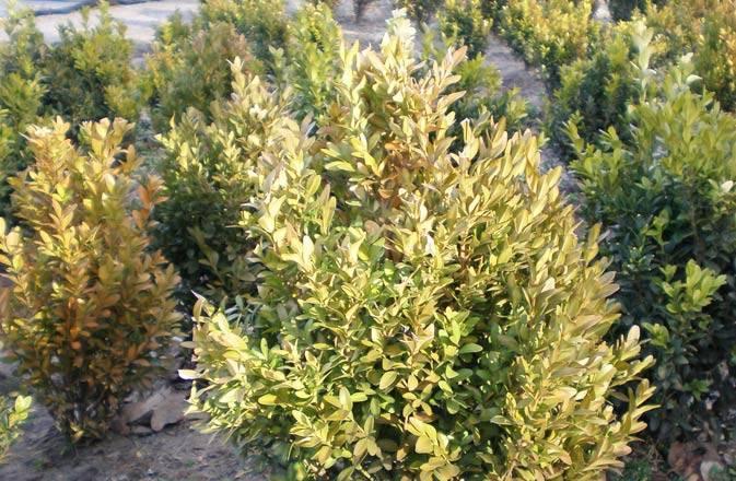 Болезни айвы: сохнут листья
