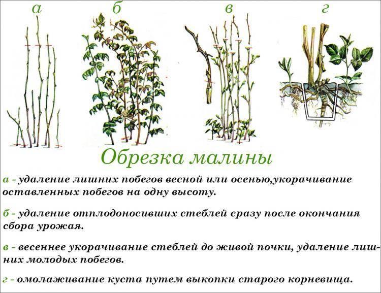 Уход за малиной весной: обрезка, полив, обработка, подкормка