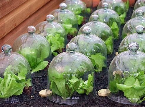 Как выращивать и ухаживать за петрушкой в теплице, сколько растет и какая урожайность