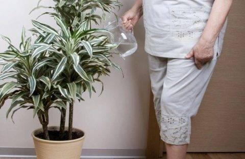 Как ухаживать за драценой в домашних условиях