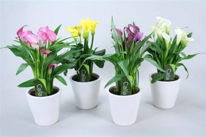 Особенности выращивания комнатной лилии и ухода за ней