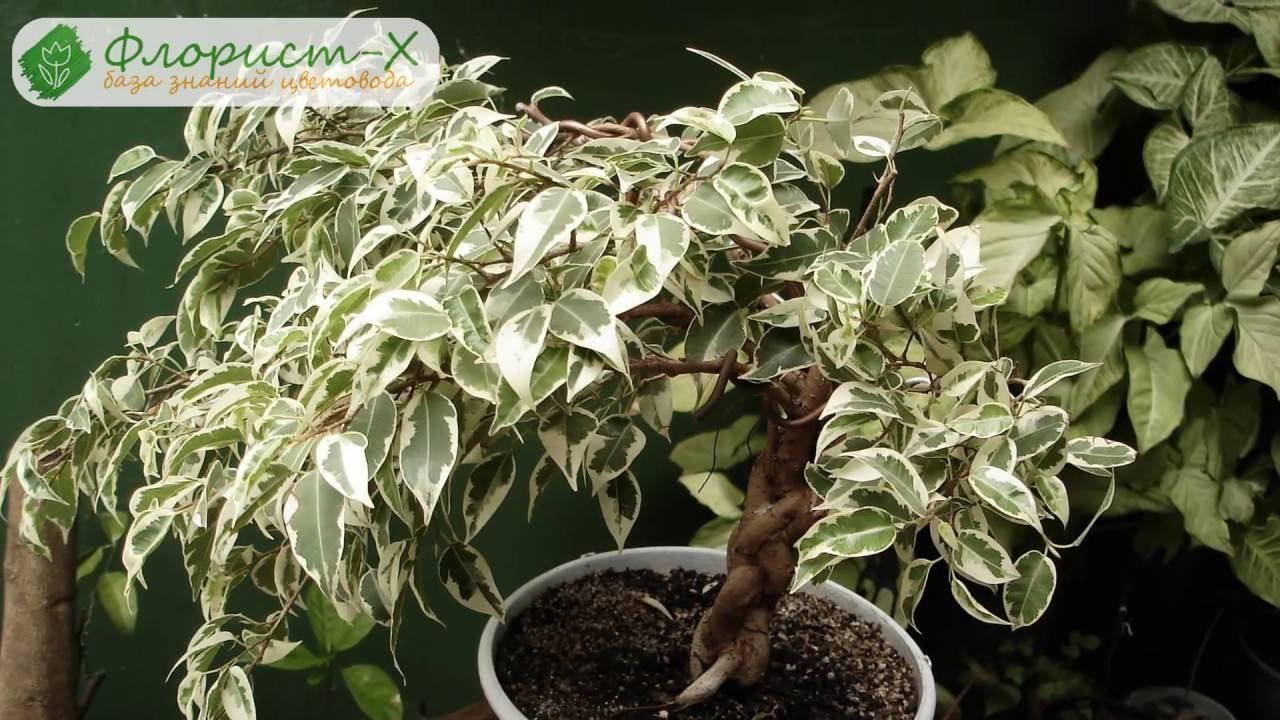 Бонсай из фикусов: что нужно знать о выращивании миниатюрных растений?