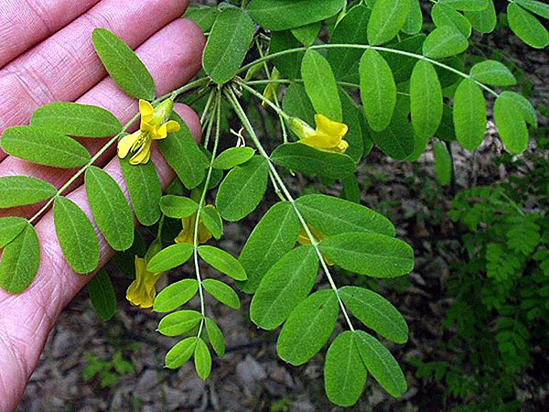 Акация жёлтая (карагана древовидная) — выращивание и уход
