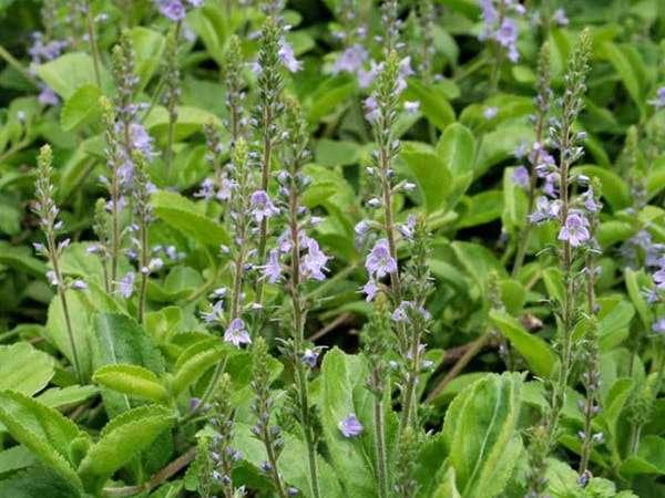 Лечебные свойства травы вероника
