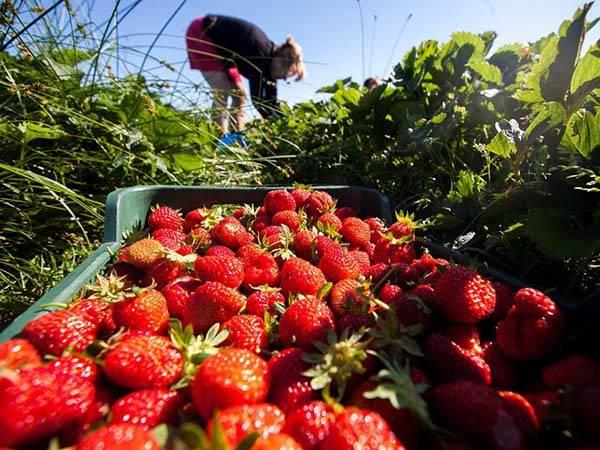 Залог прекрасного урожая — своевременная подкормка клубники весной!