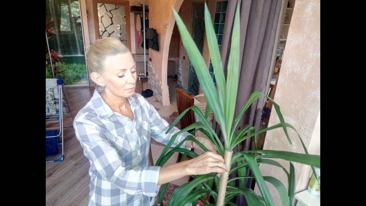 Выращивание юкки садовой (нитчатой) — пересадка, способы размножения, уход