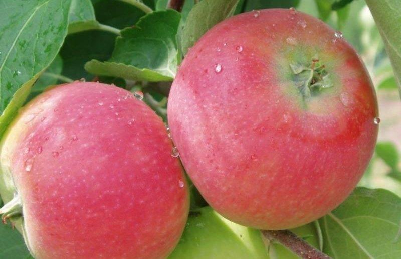 Высокую урожайность и отличную лёжкость демонстрирует сорт яблонь грушовка зимняя