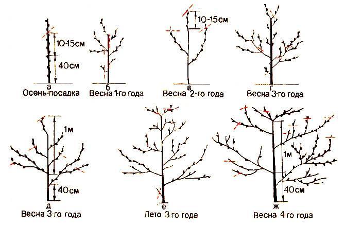 Как правильно провести обрезку абрикоса весной
