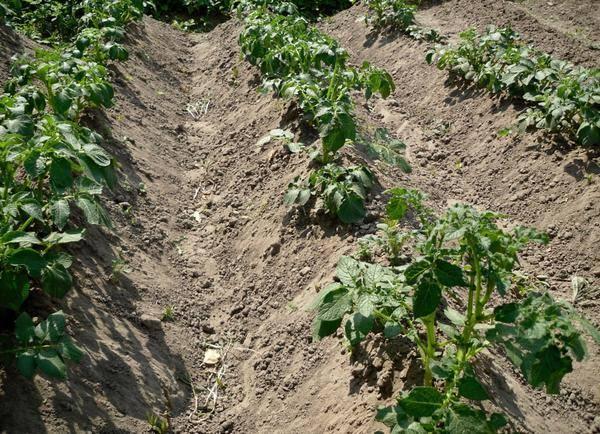 Зачем нужно окучивание и почему после него урожайность картофеля существенно возрастает?