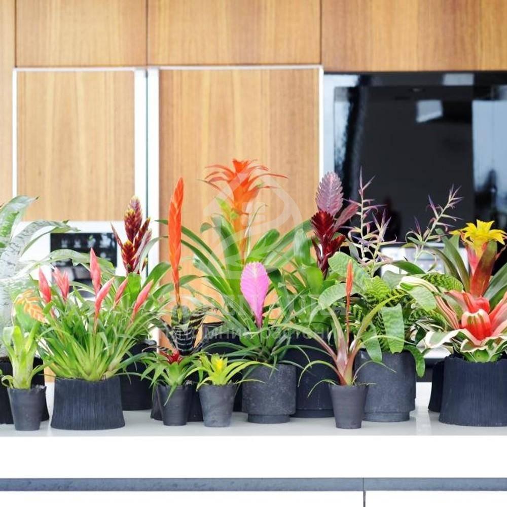 Комнатные цветы вриезия