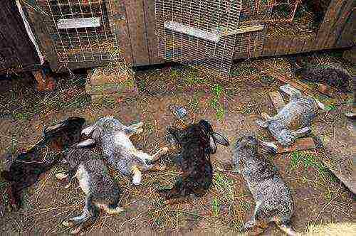 Причины развития кокцидиоза у кроликов и методы борьбы с ним